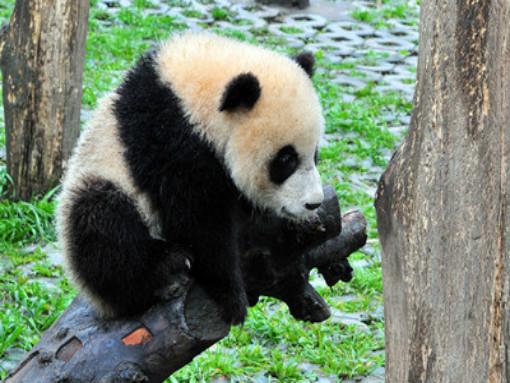 【纯净游】九寨 黄龙 熊猫乐园 雪宝顶 象雄文化园双飞6日游